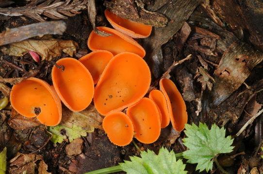 Image of Orange peel fungus