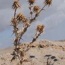 Image of <i>Cousinia hermonis</i> Boiss.
