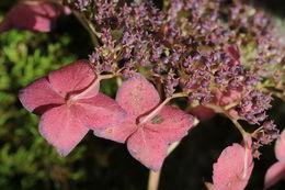 Image of hydrangea
