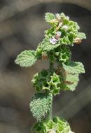 Image of <i>Ballota philistaea</i> Bornm.