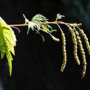 Image of <i>Boehmeria tricuspis</i> (Hance) Makino
