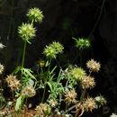 Image of <i>Valerianella coronata</i> (L.) DC.