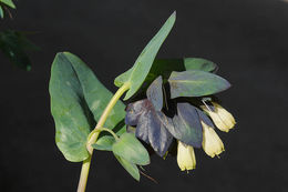 Image of <i>Cerinthe palaestina</i> Eig & Samuelss.