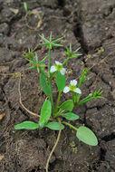 Image of <i>Damasonium polyspermum</i> Coss.