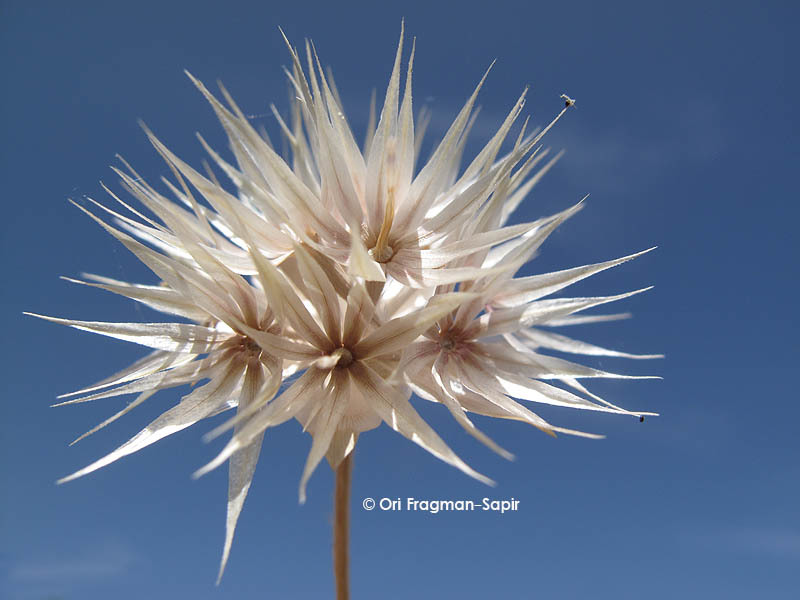 Image of <i>Chardinia orientalis</i> (L.) O. Kuntze