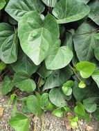 Image of colchis ivy