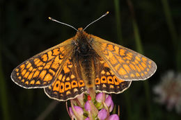 Image of Marsh Fritillary