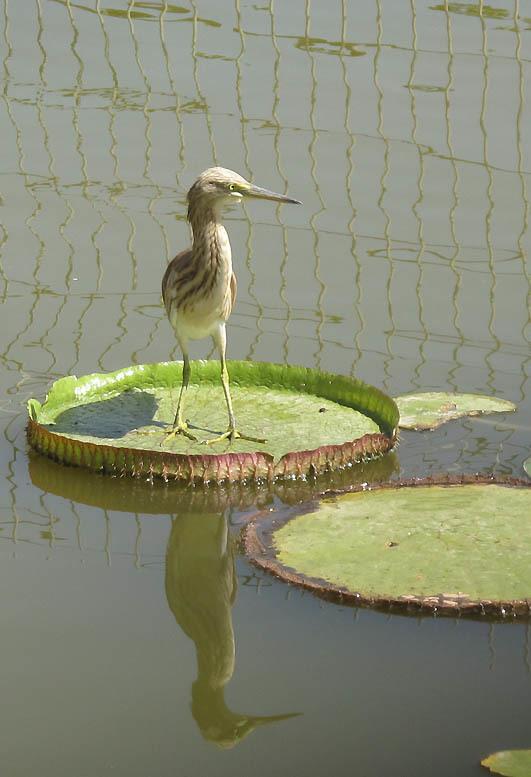 Image of Squacco heron