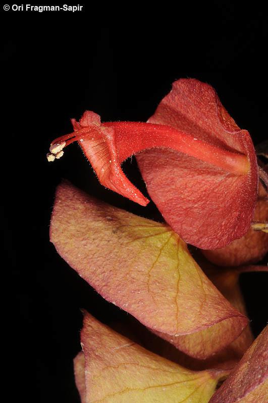 Image of Chinese hatplant