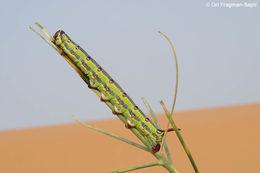 Image of <i>Hyles tithymali deserticola</i> (Staudinger 1901)