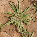 Image of <i>Neotorularia torulosa</i> (Desf.) Hedge & J. Léonard