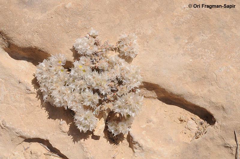 Image of <i>Paronychia sinaica</i> Fresen.