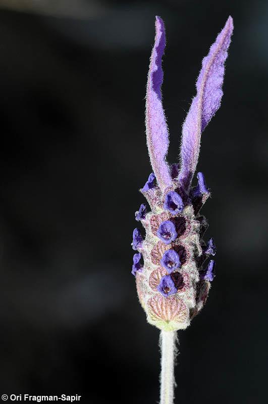 Image of <i>Lavandula pedunculata</i> ssp. <i>atlantica</i> (Braun-Blanq.) Romo