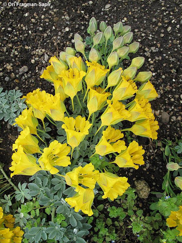 Image of <i>Tropaeolum polyphyllum</i> Cav.