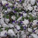 Image of <i>Viola crassifolia</i> Fenzl