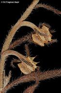 Image of <i>Heterocaryum subsessile</i> Vatke