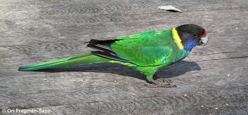 Image of Port LIncoln ringneck