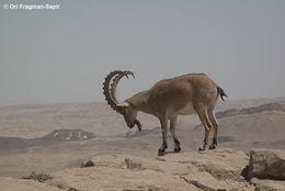 Image of Alpine Ibex