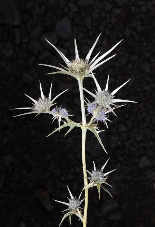 Image of <i>Eryngium bourgatii</i> Gouan