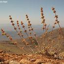 Image of <i>Marrubium cuneatum</i> Banks & Sol.