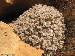 Image of <i>Acantholimon libanoticum</i> Boiss.