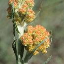 Image of <i>Helichrysum rubicundum</i> (K. Koch) Bornm.
