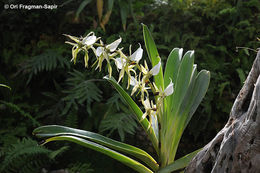 Image of <i>Angraecum eburneum</i> Bory