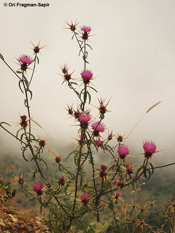 Image of Iberian knapweed