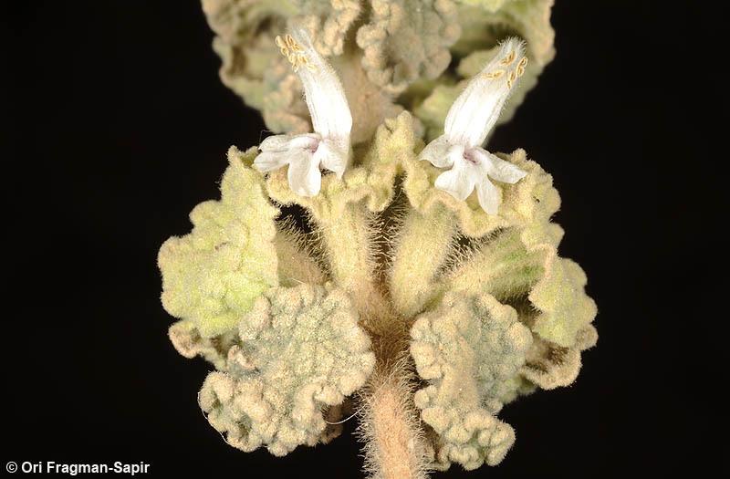 Image of <i>Ballota undulata</i> (Sieber ex Fresen.) Benth.