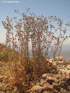 Image of <i>Eryngium billardieri</i> Delile