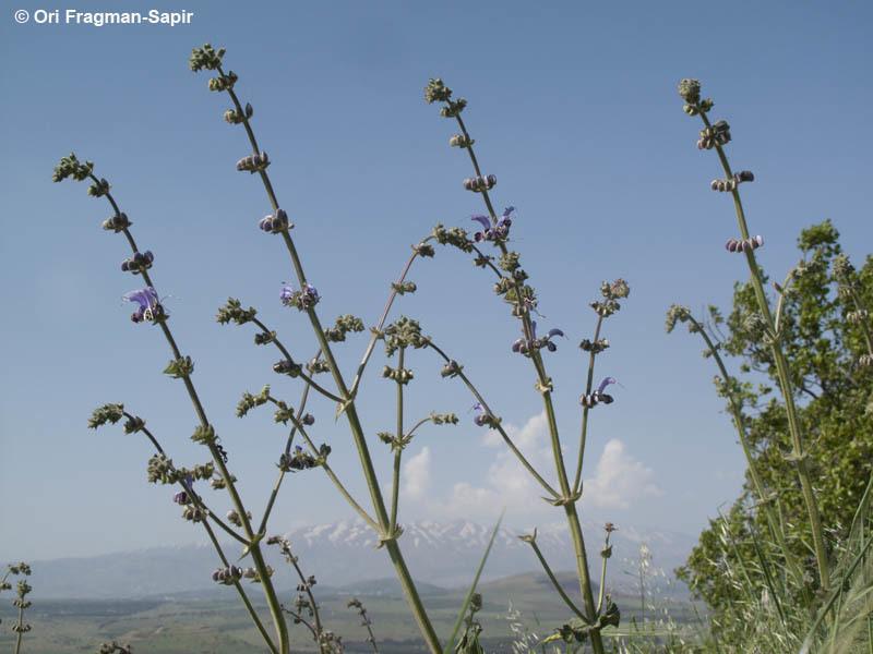 Image of <i>Salvia indica</i> L.