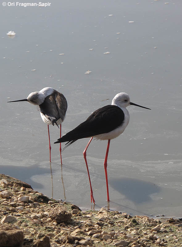 Image of Black-winged stilt