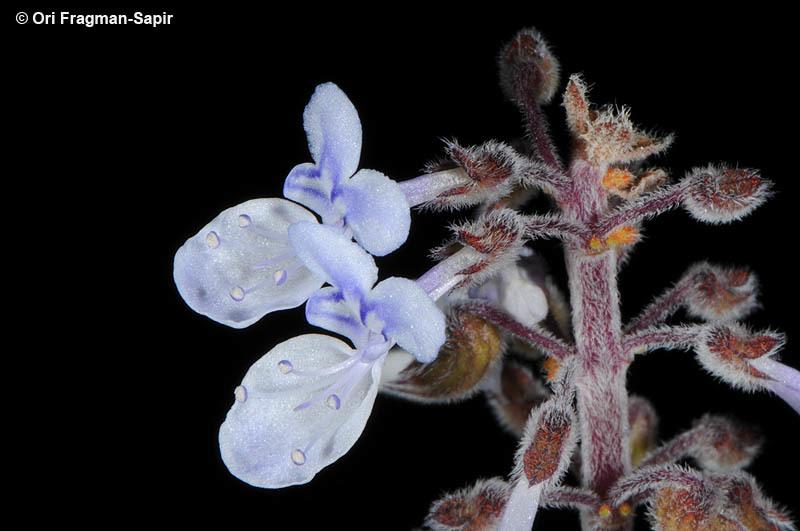 Image of Blue lobster flower