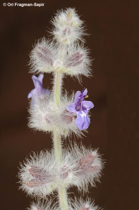 Image of <i>Salvia deserti</i> Decne.