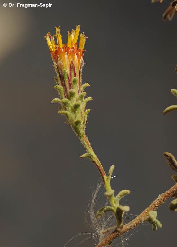 Image of <i>Chiliadenus montanus</i> (Vahl) Brullo