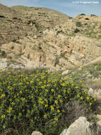 Image of <i>Phlomis platystegia</i> Post