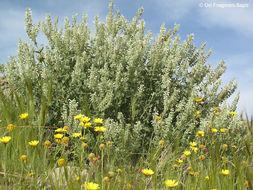 Image of <i>Salvia dominica</i> L.