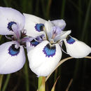 Image of Peacock moraea