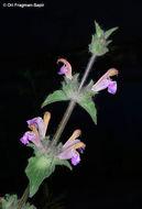 Image of <i>Salvia bracteata</i> Banks & Sol.