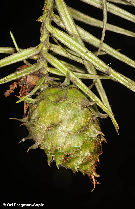 Image of Chinese fir