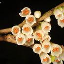 Image of <i>Eurya acuminatissima</i> Merr. & Chun