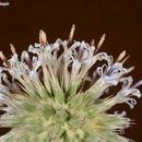 Image of <i>Echinops philistaeus</i> Feinbr. & Zohary