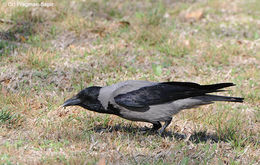 Image of Hooded Crow