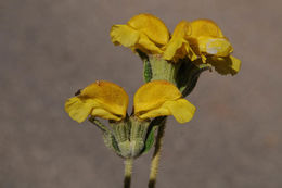 Image of <i>Phlomis lanata</i> Willd.