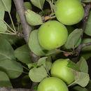 Image of <i>Malus orientalis</i> Uglitzk. ex Juz.