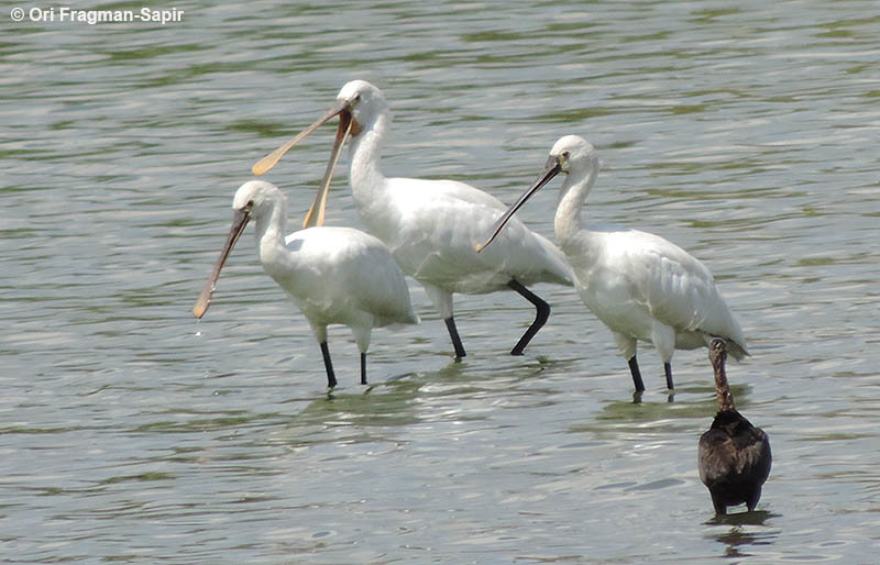 Image of ibises and spoonbills