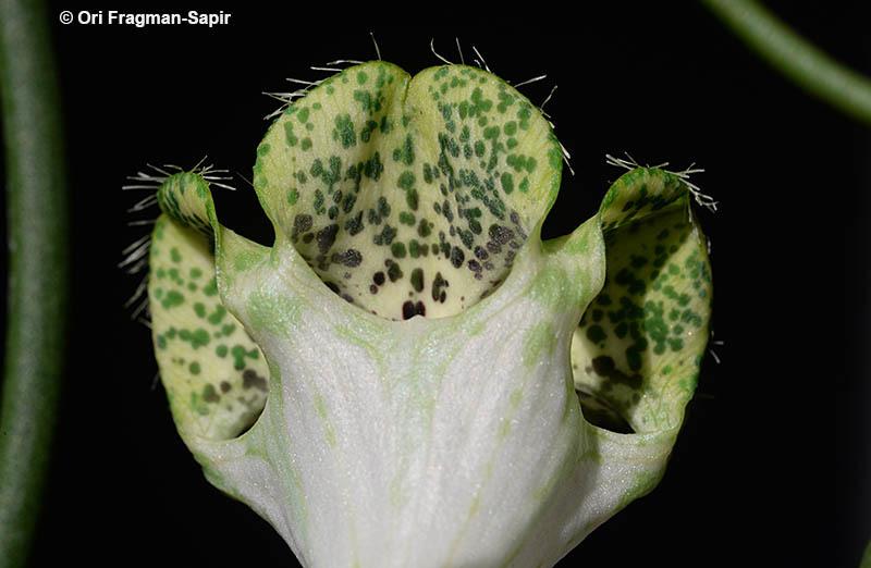 Image of <i>Ceropegia sandersonii</i> Decne. ex Hook.