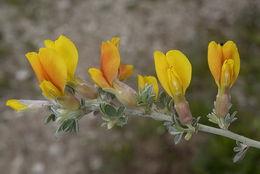 Image of <i>Cytisus spinescens</i> C. Presl