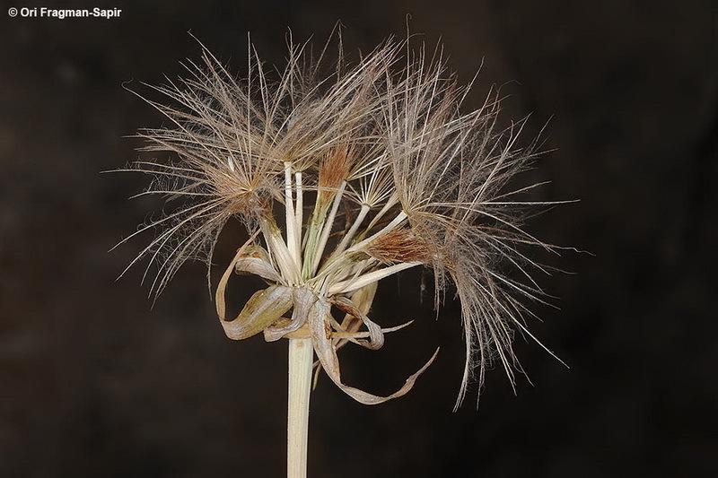 Image of <i>Tragopogon collinus</i> DC.
