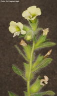 Image of white henbane